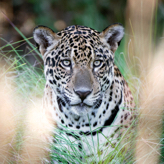 Jaguar tracking at Caiman