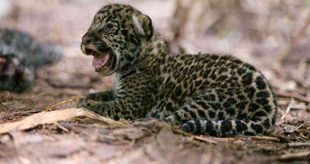 Jaguar Cub - Onçafari Project