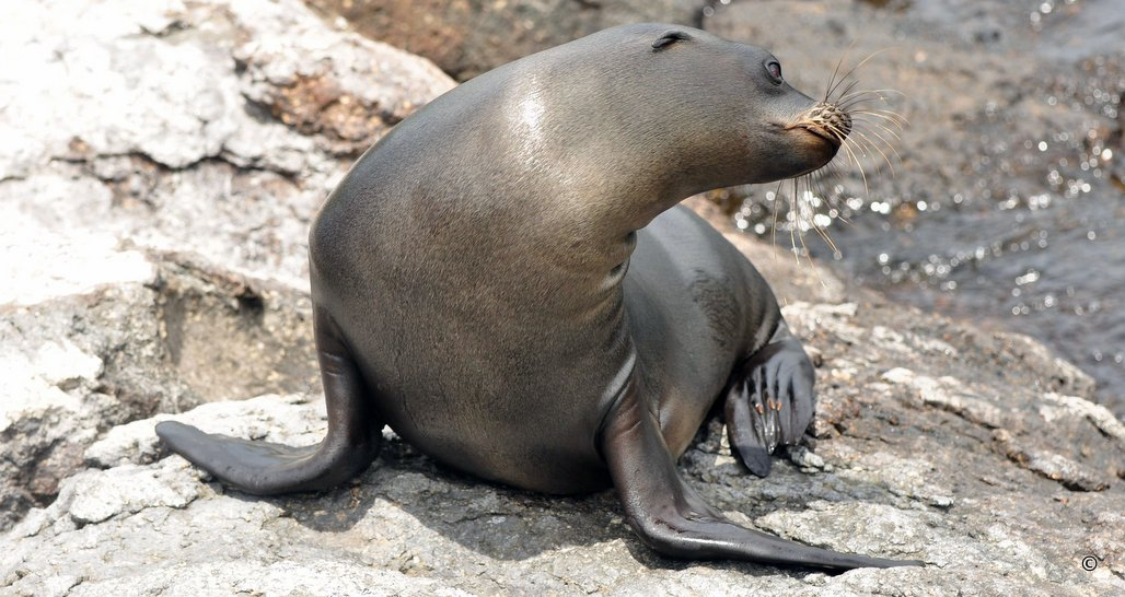 Sea Lions of the Galapagos
