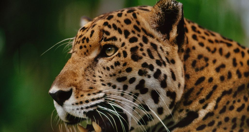 Jaguar Close Up - courtesy of Science Photo Library