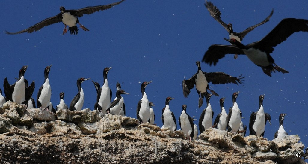 Sea birds, Ballestas Islands, Peru