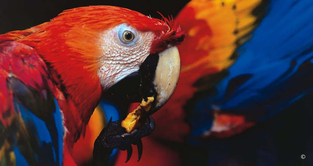 Colourful Parrots, Amazon