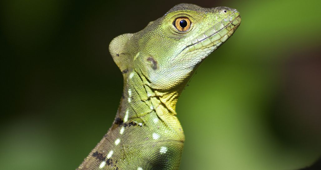 Green Basilicus lizard, Costa Rica