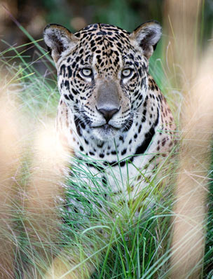 Jaguar spotting in the Pantanal