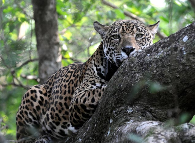 Jaguar at Caiman
