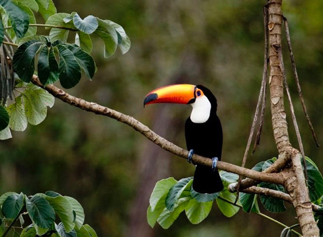 Toucan at Caiman