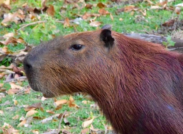 Capybara at Caiman