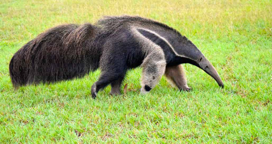 Caiman Ecological Refuge - Giant Anteater