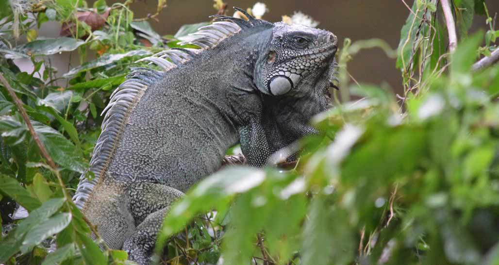 Cristalino Lodge - Green Iguana