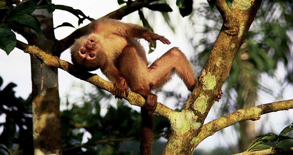 Capuchino Monkey, Napo