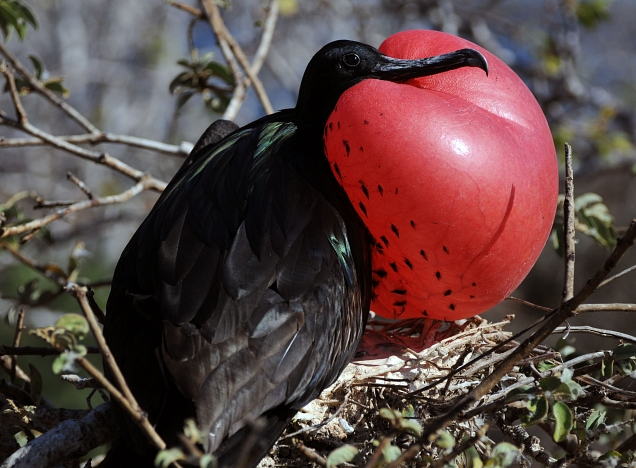 Male frigate bird showing-off