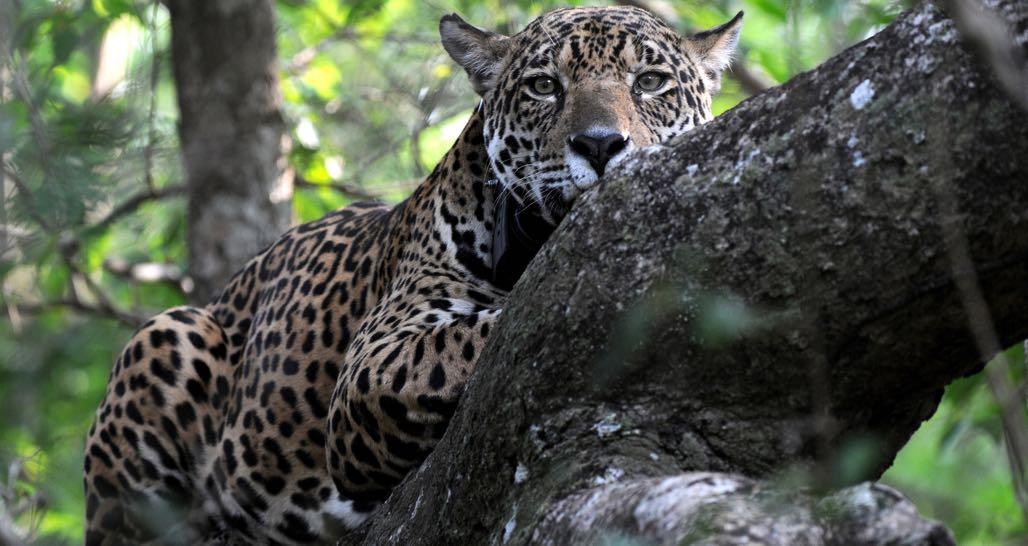 Jaguar at Caiman Lodge in Pantanal