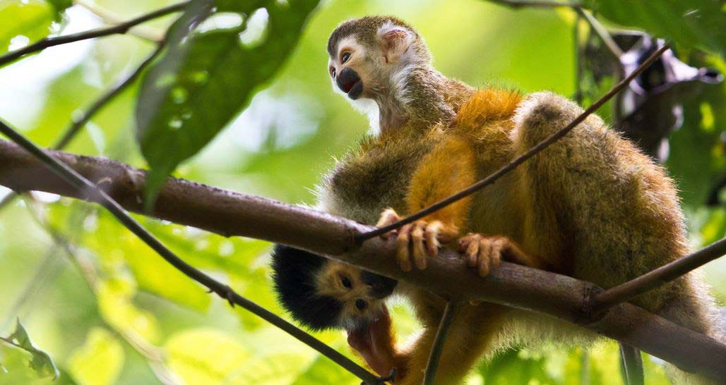 Squirrel Monkey with baby at Lapa Rios