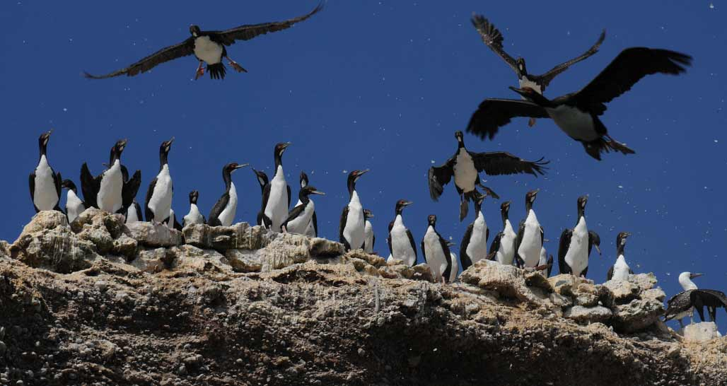 Sea birds, Ballestas Islands
