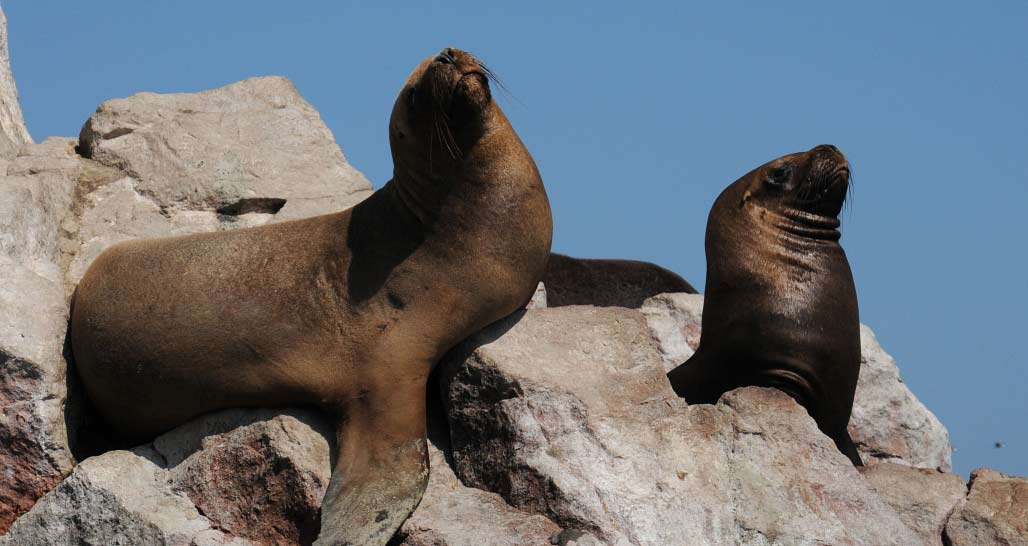 Up-close with the sea lions, Ballestas Islands