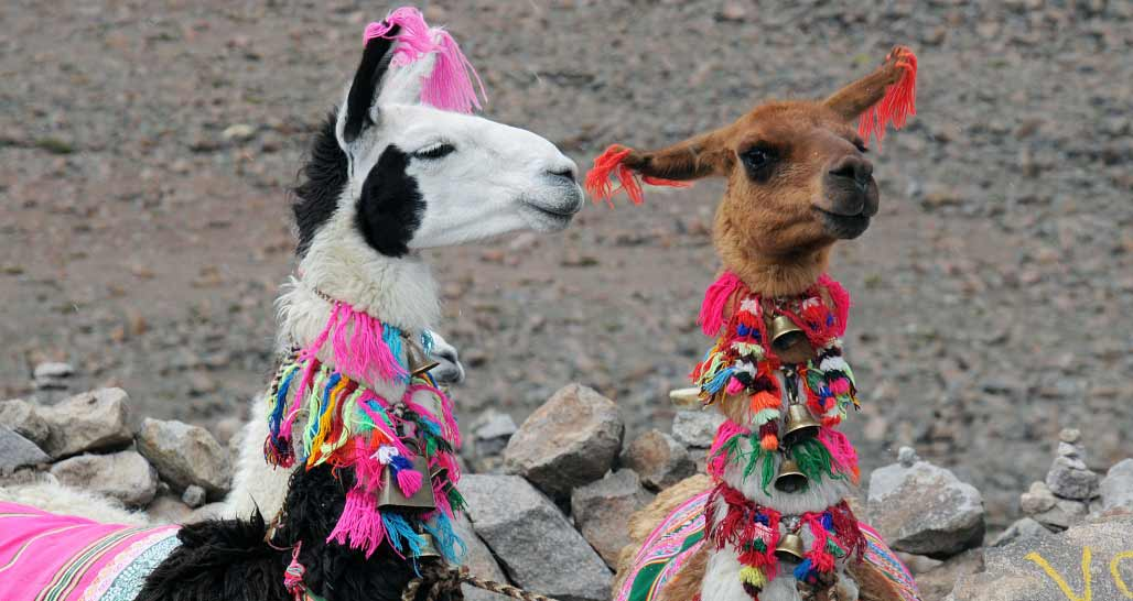 Llamas - dressed to impress, Peru
