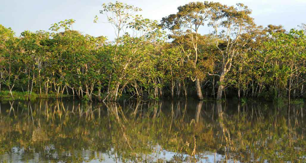 Tree Lined Amazon River