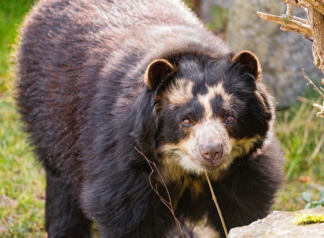 Zuleta Spectacled Bear
