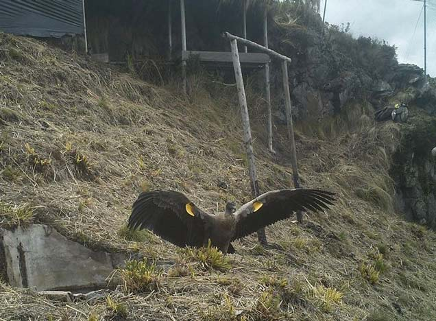 Condor at Zuleta